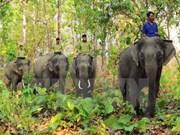 Elephant sanctuary established in Quang Nam