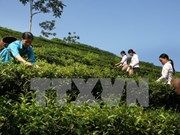 Vietnamese tea exporters enjoy robust achievements