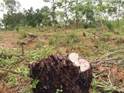 Pine forest cut down, local administration doesn't notice