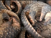 Malaysia rescues 140 pangolins in border area with Thailand