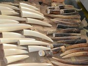 Illegal shipment of ivory intercepted by customs