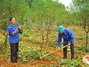 Thousands of Tet peach trees die after severe flooding