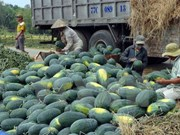 Vietnamese, Chinese firms ink watermelon trade deals
