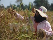 Thai farmers receive support to reduce rice-cultivated areas