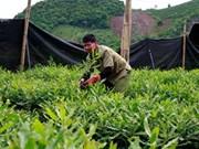 Son La aims to up macadamia 10-fold by 2020