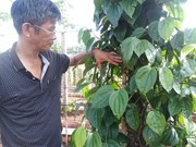 Gia Lai pepper farmers developing Sri Lanka plant