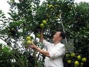 Vinh orange fair opens in Nghe An