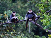 Hotels, resorts threaten rare primates