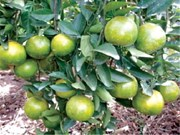 Thua Thien-Hue expands Nam Dong orange farm
