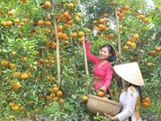 Tangerine farms in Dong Thap ready for visitors during Tet