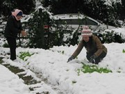 Farmers incur losses due to cold
