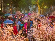 Cherry blossom festival to take place in Hanoi in March