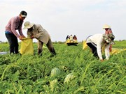 Bumper Tet for watermelon farmers
