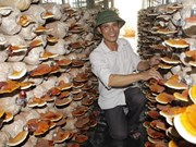 Fungus farm keeps ex-soldier busy
