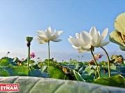 Lotus farm-tourism model faces market hurdles in Mekong