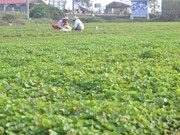 Gotu Kola plant earns Hue farmers a decent life