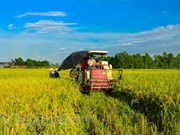 Made-in-Vietnam varieties cover 59 percent of rice fields