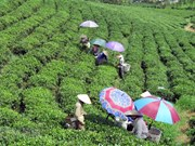 Festival promotes Thai Nguyen's tea products