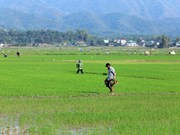 Winter-spring rice yields big profits for farmers