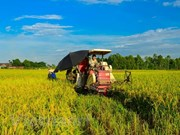 Organic rice project underway in Hai Phong