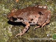 Da Nang: New frog found in Son Tra Nature Reserve