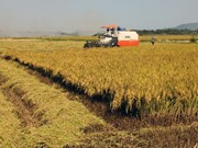South region harvests 11 million tonnes of Winter-Spring rice