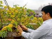 Cherry blossom - yellow ochna flower festival to open in Quang Ninh