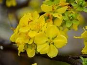 2018 Cherry blossom – Yen Tu yellow ochna flower festival opens