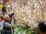 Japanese cherry blossom festival in Hanoi extends to March 27