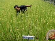 Indonesia works to modernize rice sector