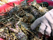 Workshop discusses sustainable lobster farming in central Vietnam