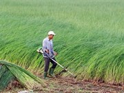 Mekong Delta farmers profit from sedge boom