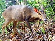 Endangered large-antlered muntjac found in Quang Nam
