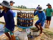 Mekong Delta authorities improve management of Tra fish breeding