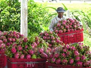 Dragon fruits dominate Vietnam's fruit exports
