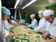 Cashew nut factories halt operations due to lack of materials
