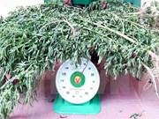 Quang Ninh police discover illegal marijuana grower
