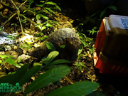 Endangered pangolins released into nature