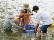 Giant river prawns recover in Mekong Delta after long decline