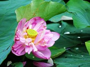 Lotus flower shows tranquil charm in summer heat