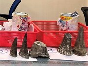 Over 7kg of rhino horns seized at Tan Son Nhat airport