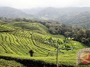 Indonesia's black tea wins international award