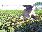 VN's organic farming expansion faster than world average