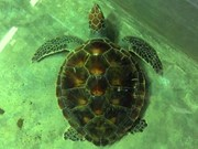 Vietnam strengthens protection of rare sea turtles