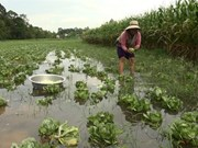 Mekong Delta farmers struggle with floods
