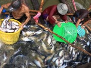 Prices of tra fish continue to drop in July