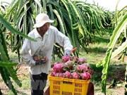 Tien Giang to expand dragon fruit growing area