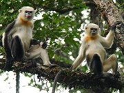 Ha Giang zones off land to preserve rare primate