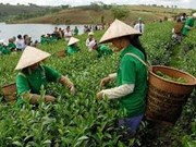Tea exports reach 36 million USD in Q1