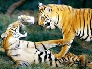 Workshop discusses tiger conservation